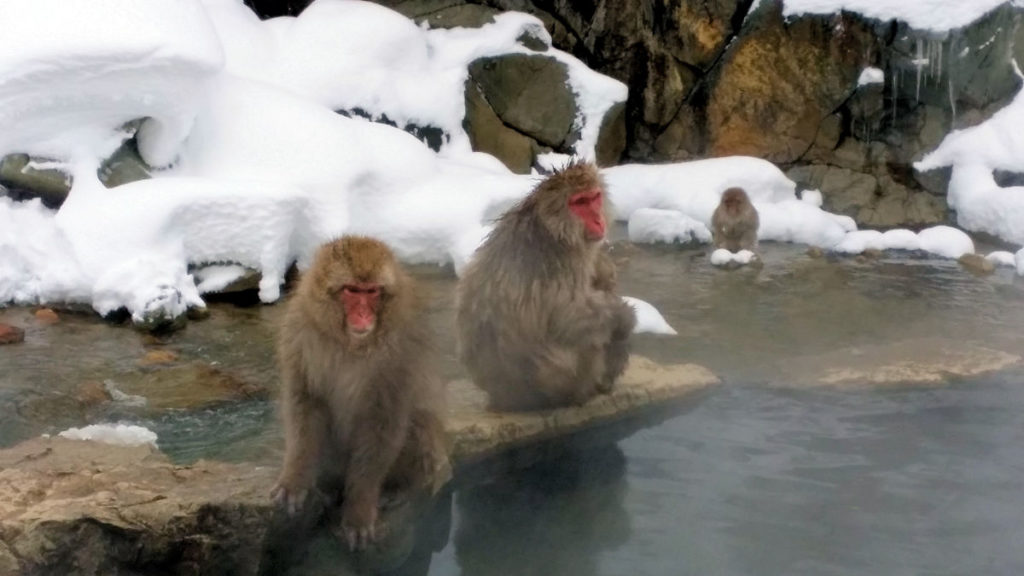 snow monkeys sitting alongside onsen by the river