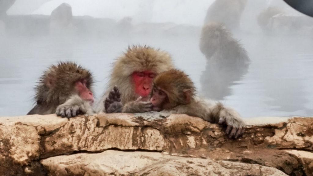 snow monkeys bathing in onsen