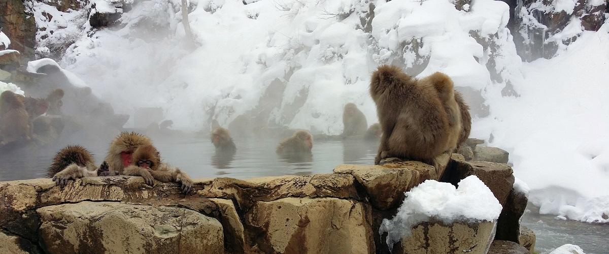 snow monkeys at Jigokudani outdoor onsen