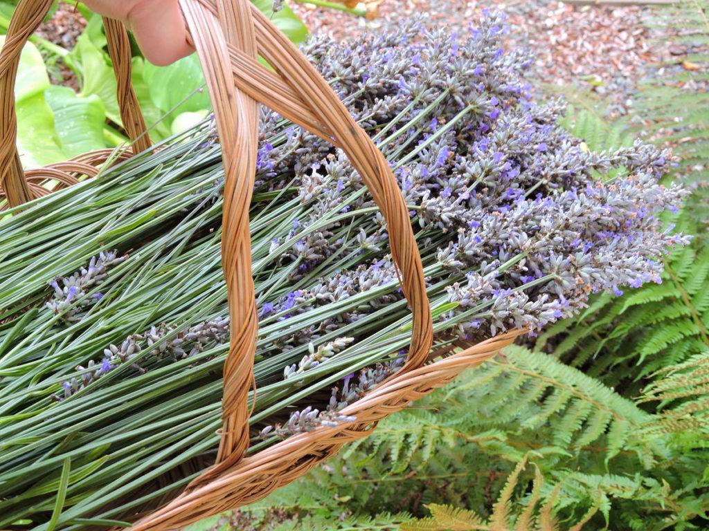 gathered lavender in basket