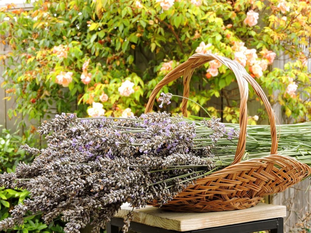 Harvested Lavender in basket with roses in the background