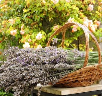Harvesting Lavender To Make Sachets