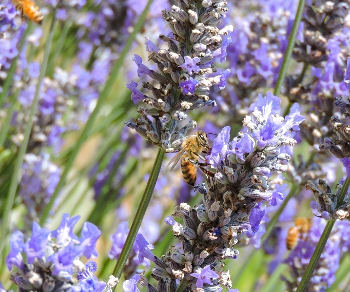 close up of three honey bees in lavender