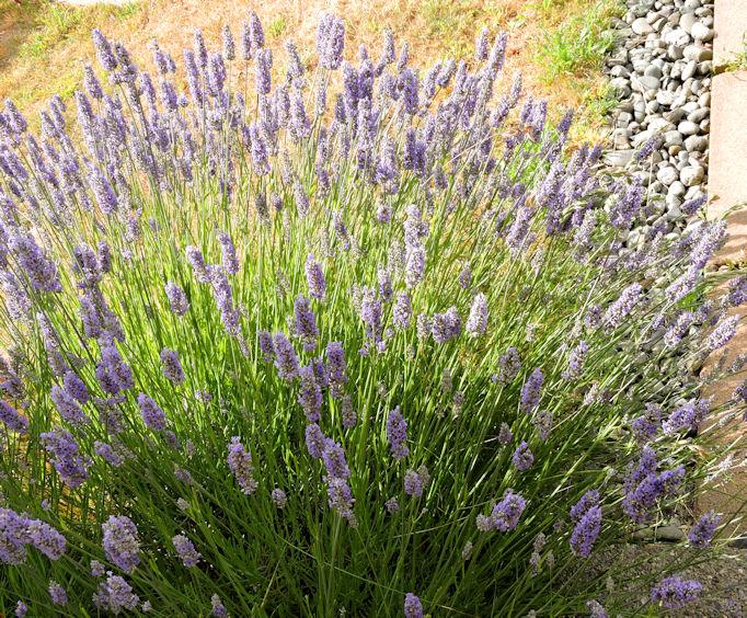 full blooming Lavender plant in full sun