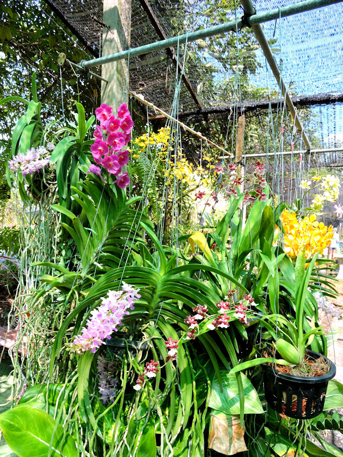 yellow pink and white orchids