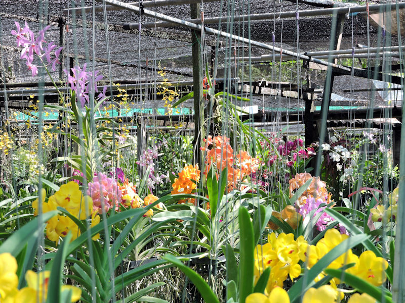 lots of orchids at nursery