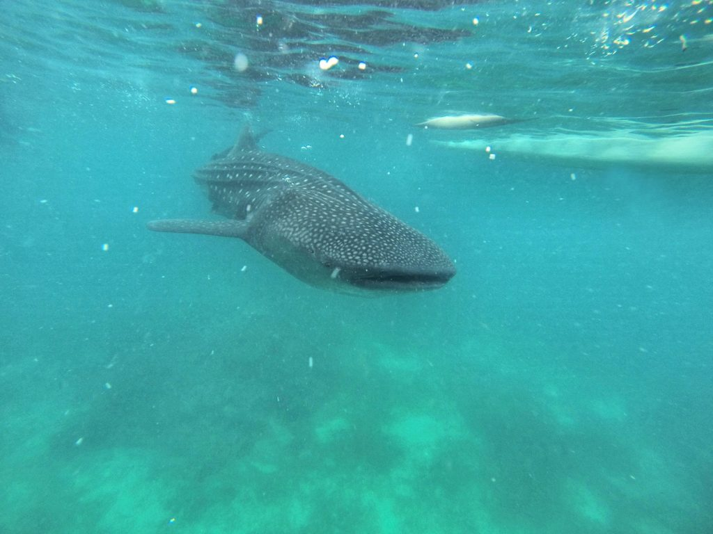 whale shark front view in blue water