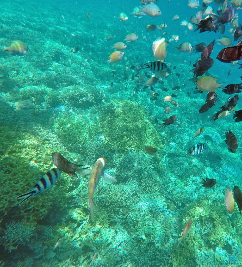 lots of fishes and coral snorkling