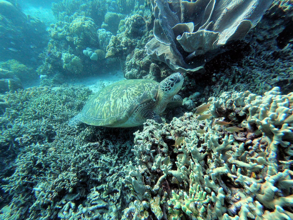 sea turtle and coral