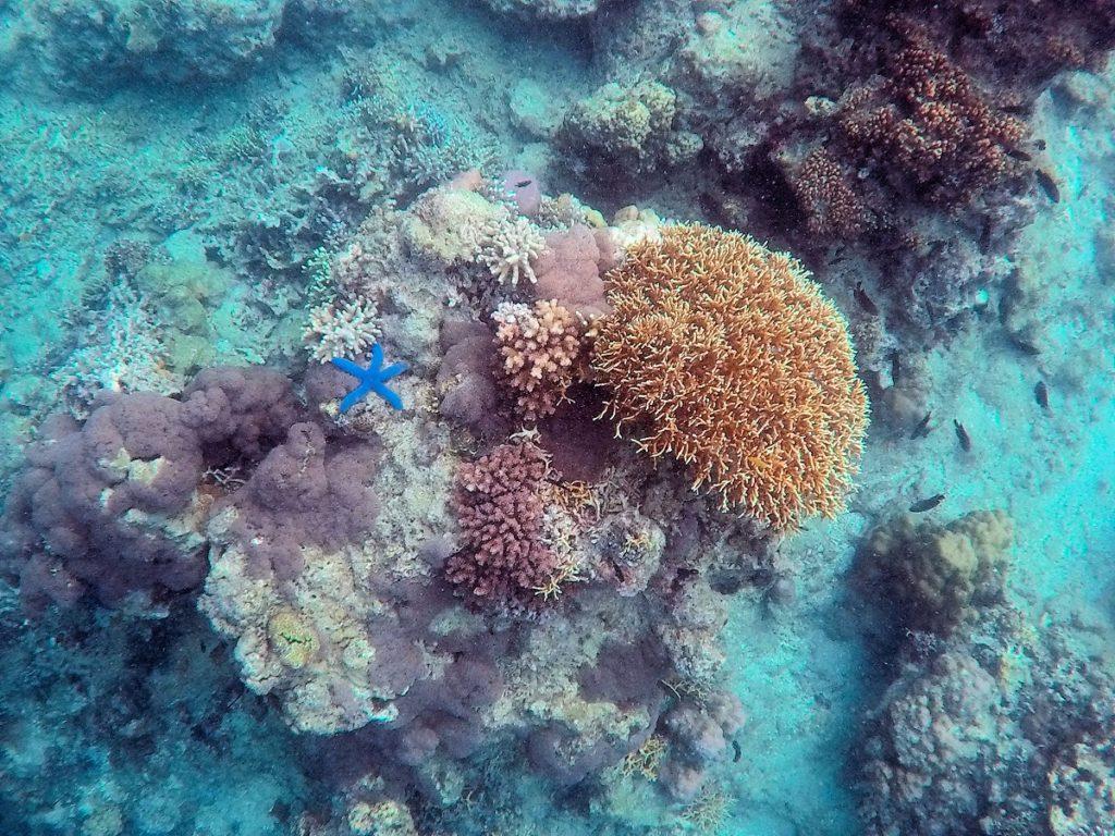 blue sea star snorkling