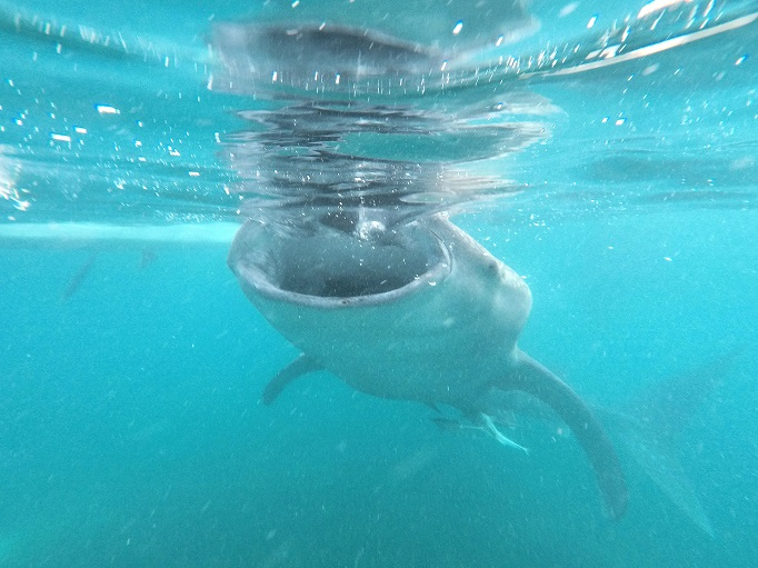 whale shark with wide mouth eating