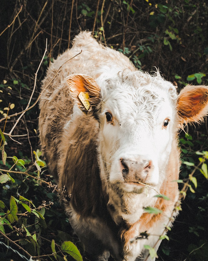 shaggy-cow-in-thicket