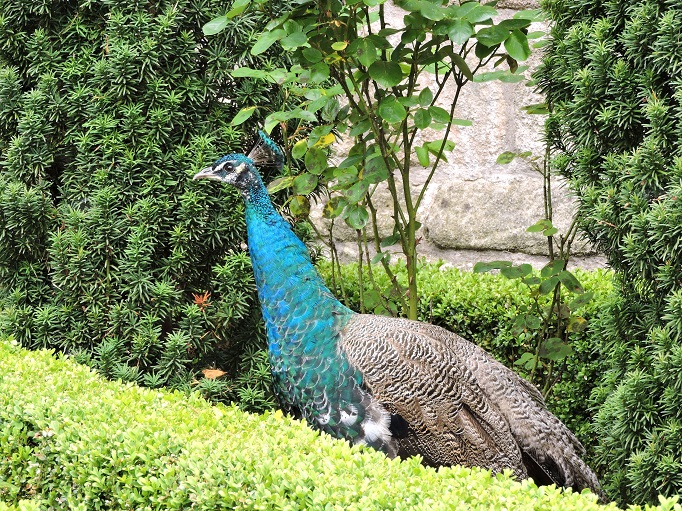 peacock and hedges