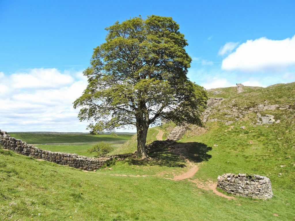 large sycamore tree by Hadrian's wall